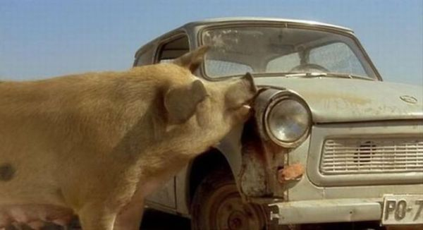 A pig eating an old car, from the film Black Cat White Cat